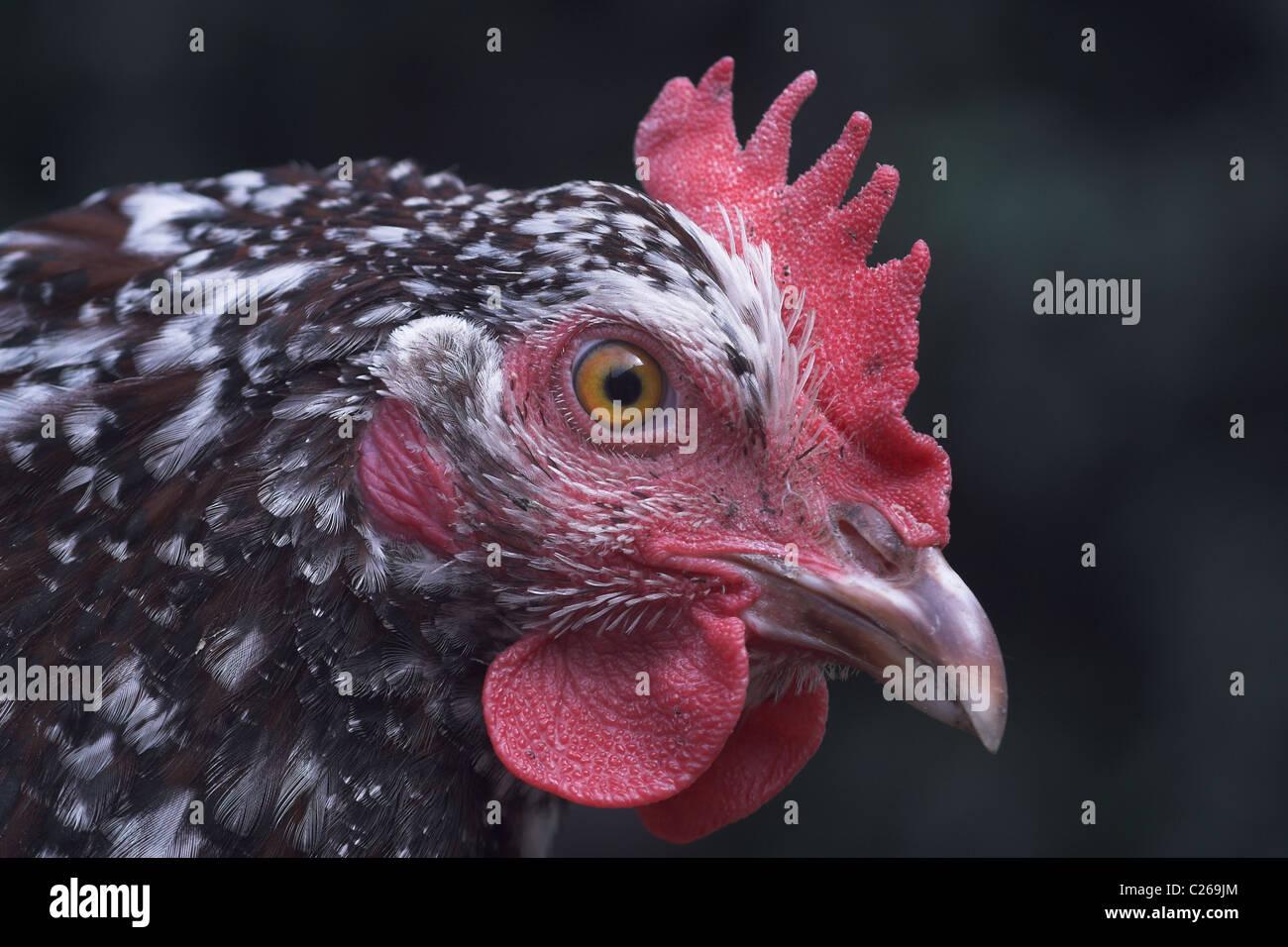 Nahaufnahme von gesprenkelten Sussex-Huhn Stockbild