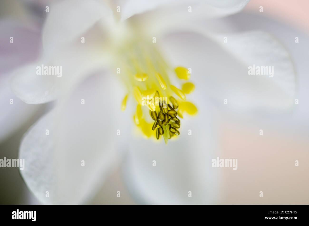 Einzelne weiße Aquilegia Vulgaris Blume - Akelei Stockbild