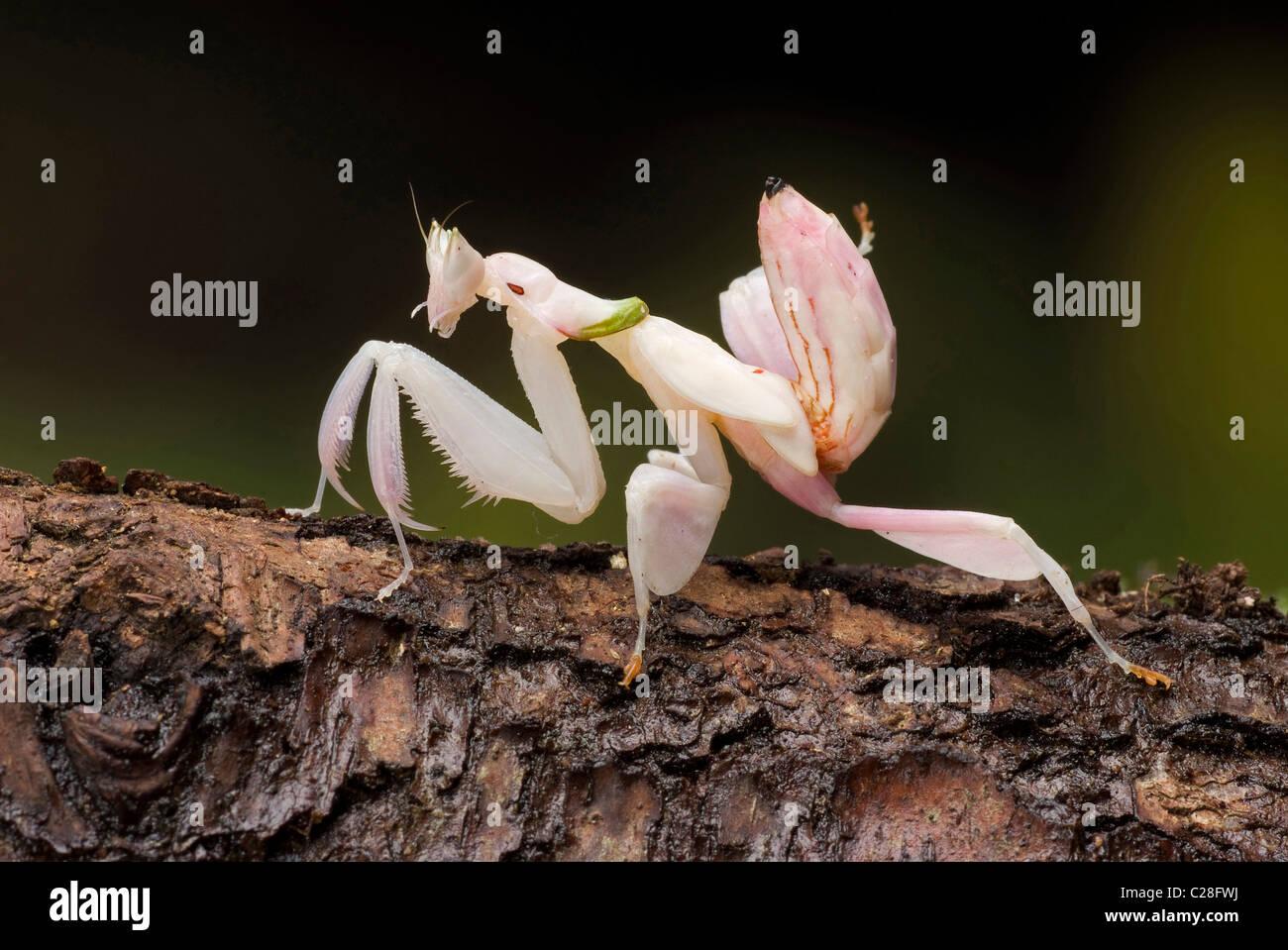 Orchideen-Mantis (Hymenopus Coronatus) auf Rinde. Stockbild