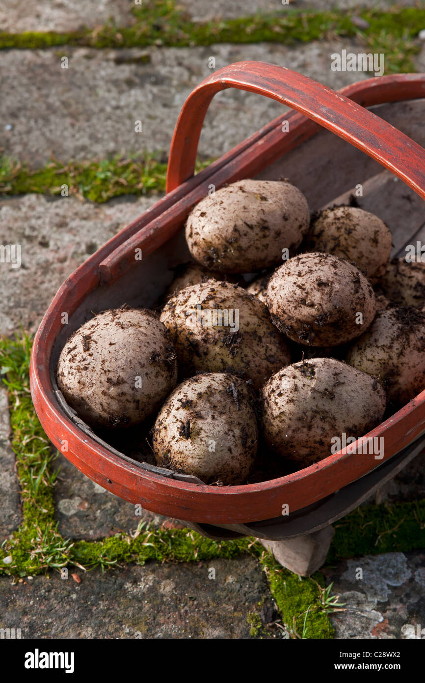frisch geerntete Zitze Pentland Javelin Kartoffeln Trug Herbst Oktober Herbst Küchengarten Gemüsepflanze Stockbild