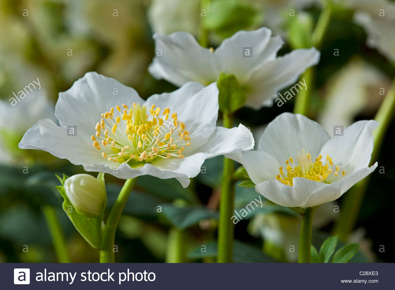 helleborus niger stockfotos helleborus niger bilder alamy. Black Bedroom Furniture Sets. Home Design Ideas