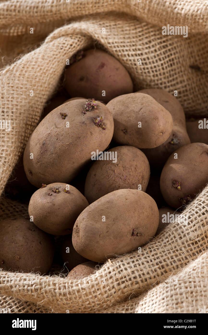 frisch geerntete gegraben-Red Duke of York-Kartoffel-Sack Entlassung im Herbst Oktober Herbst Küchengarten Stockbild