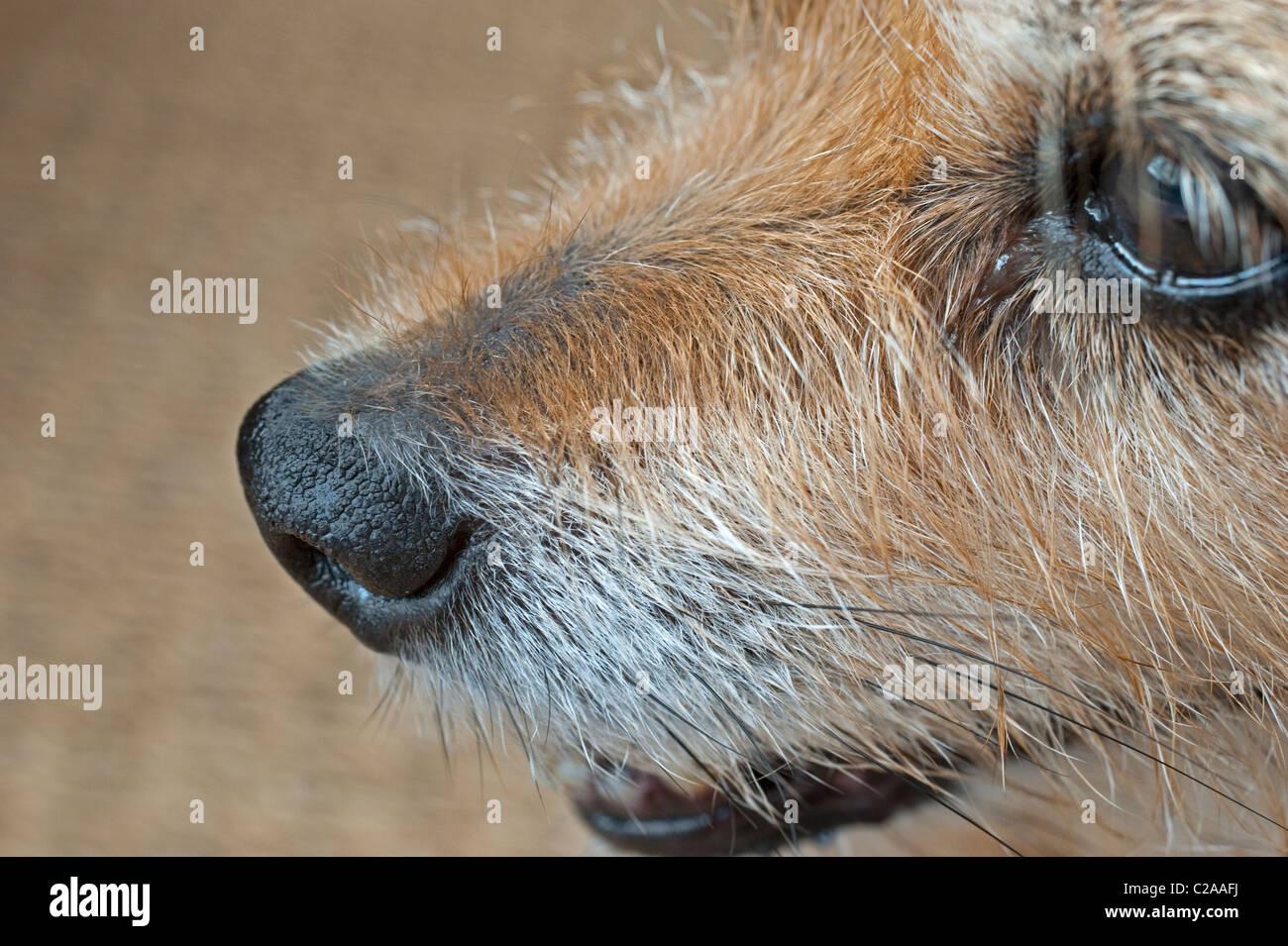Die Nase des Hundes ist wohl, dass es wichtige und sensible Sinnesorgan des Menschen ist Stockbild