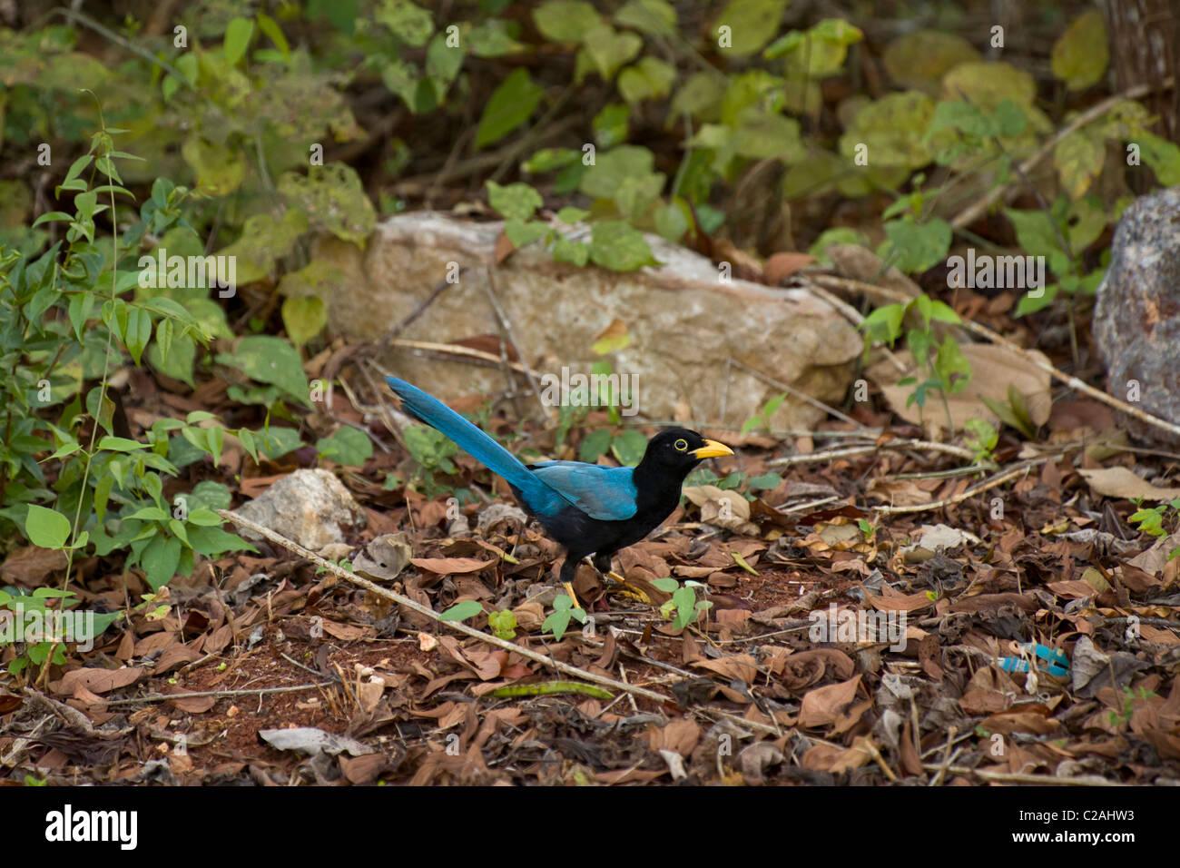 Yucatan Jay (Cyanocorax Yucatanicus), Halbinsel Yucatan, Mexiko. Stockbild