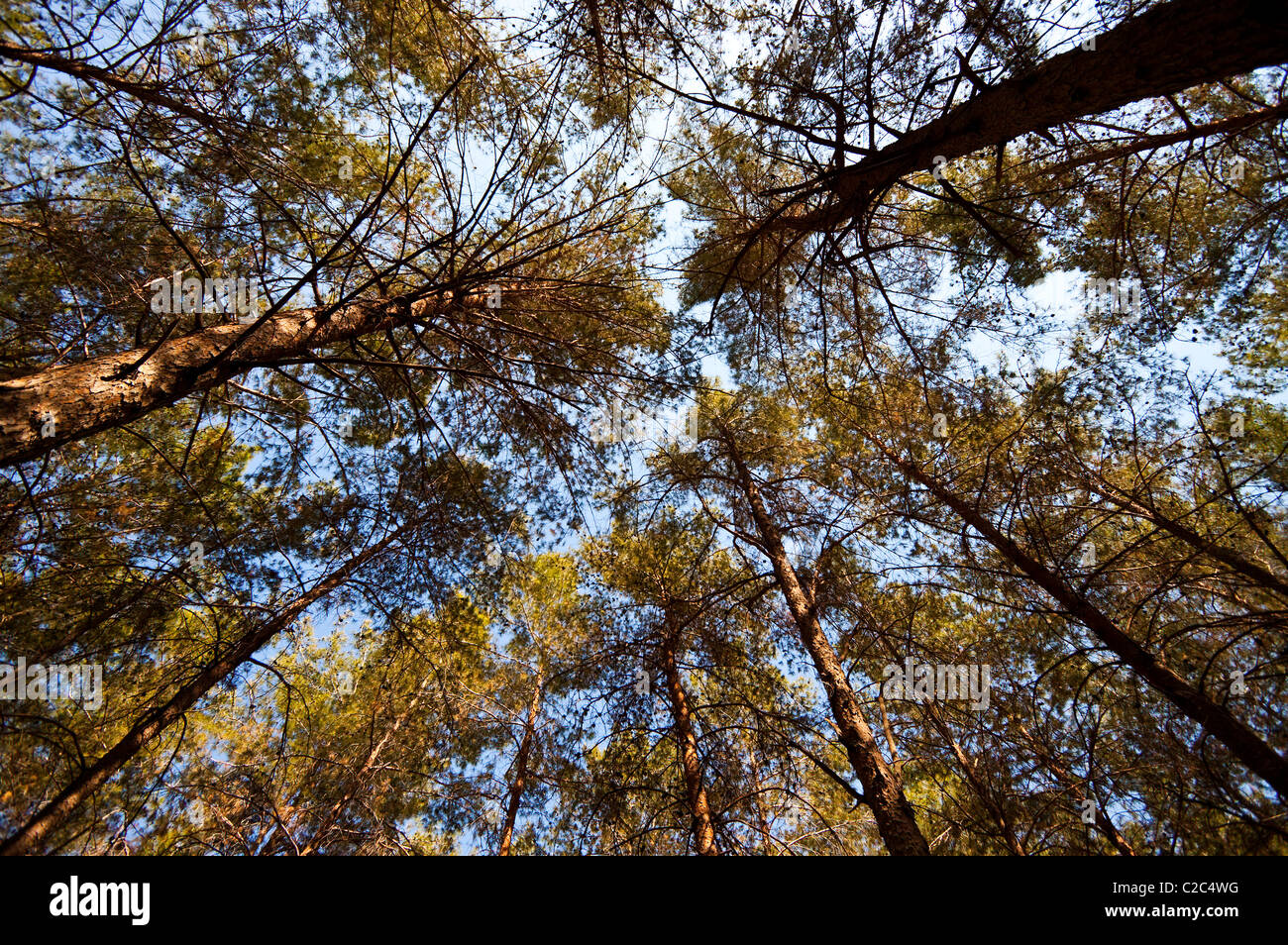 Kiefernwald außerhalb von Jerusalem Stockbild