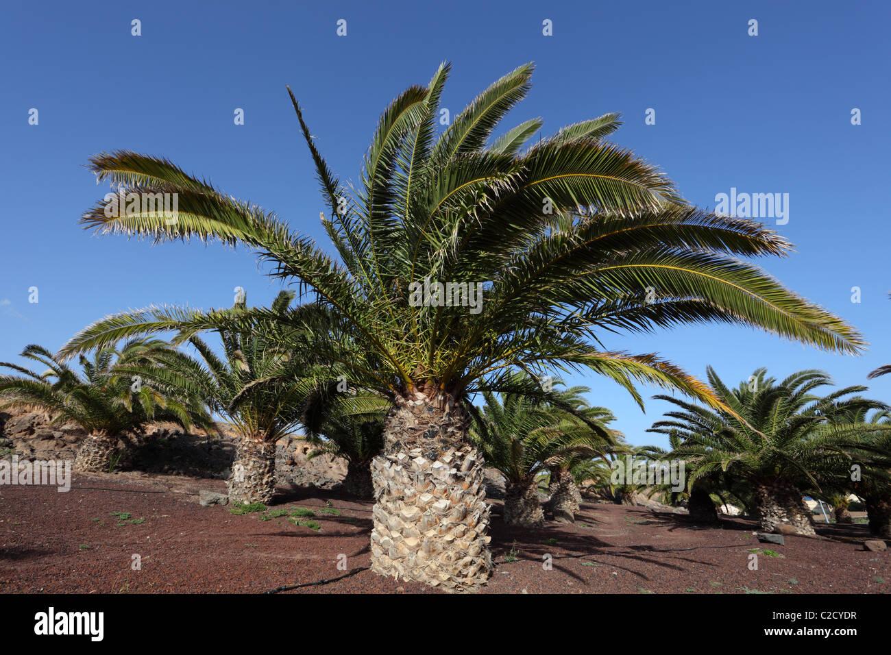 Kanarische Inseln Dattelpalmen, Fuerteventura Stockbild