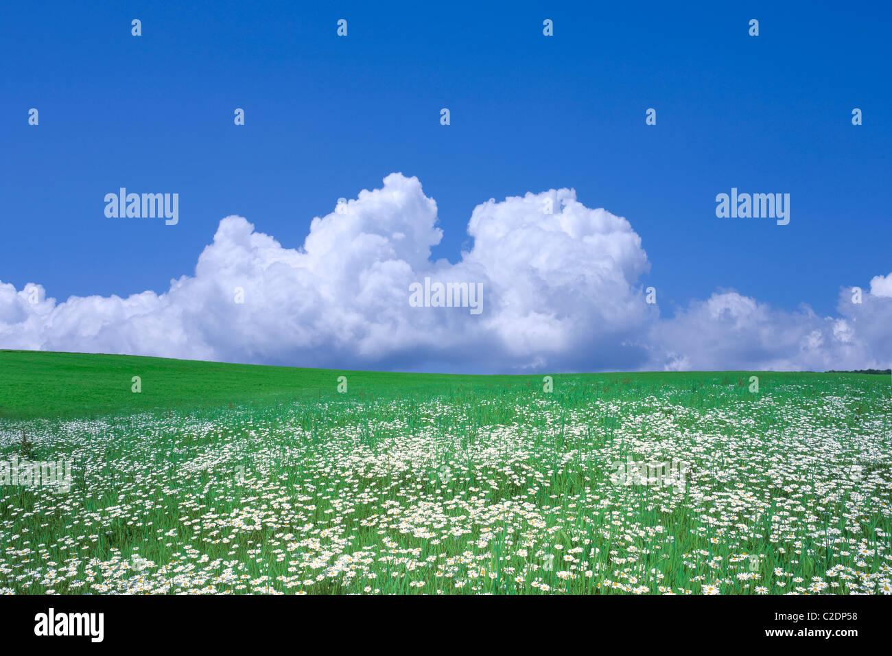 Blumenwiese und blauer Himmel mit Wolken. Stockbild