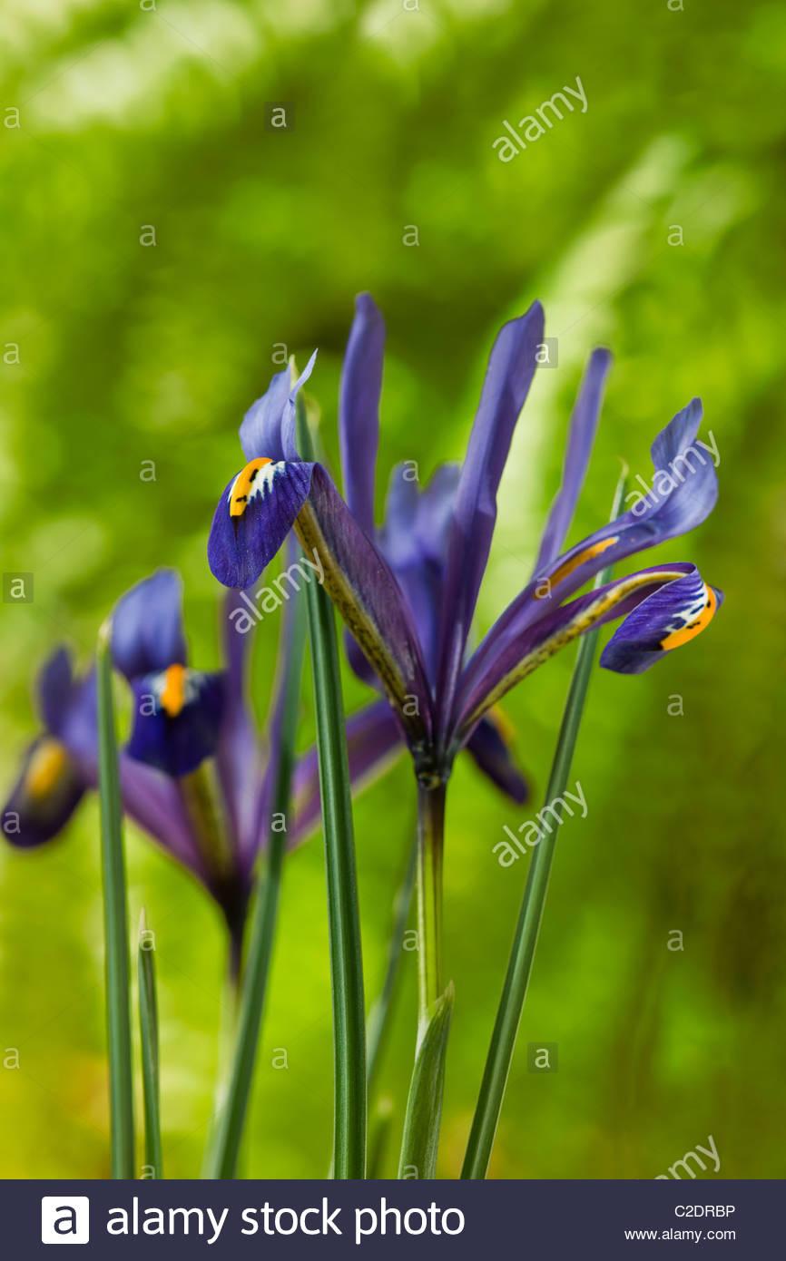 Zwerg-Iris Reticulata Feder Blume Lampe lila alpine Gardeb Pflanze Stockbild