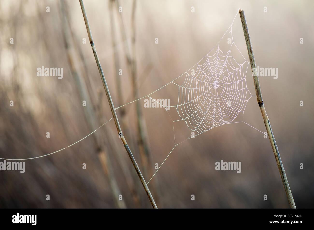 Spinnen web in misty Tau zu Schilf in der englischen Landschaft angebaute überdachte Stockbild
