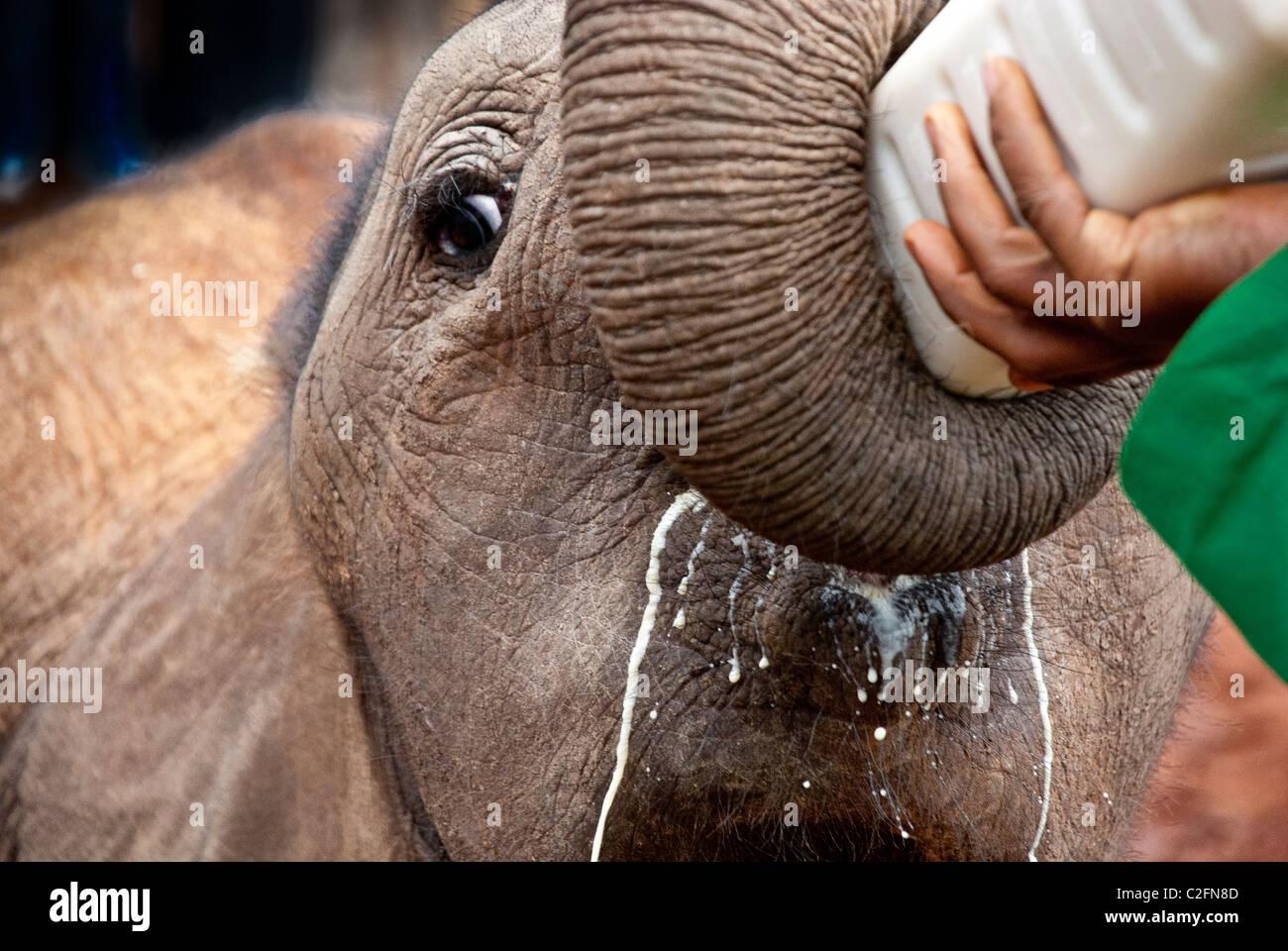 Afrikanischer Elefant Kalb, Loxodonta Africana, trinken Milch aus einer Flasche, Sheldrick Elephant Orphanage, Nairobi, Stockbild