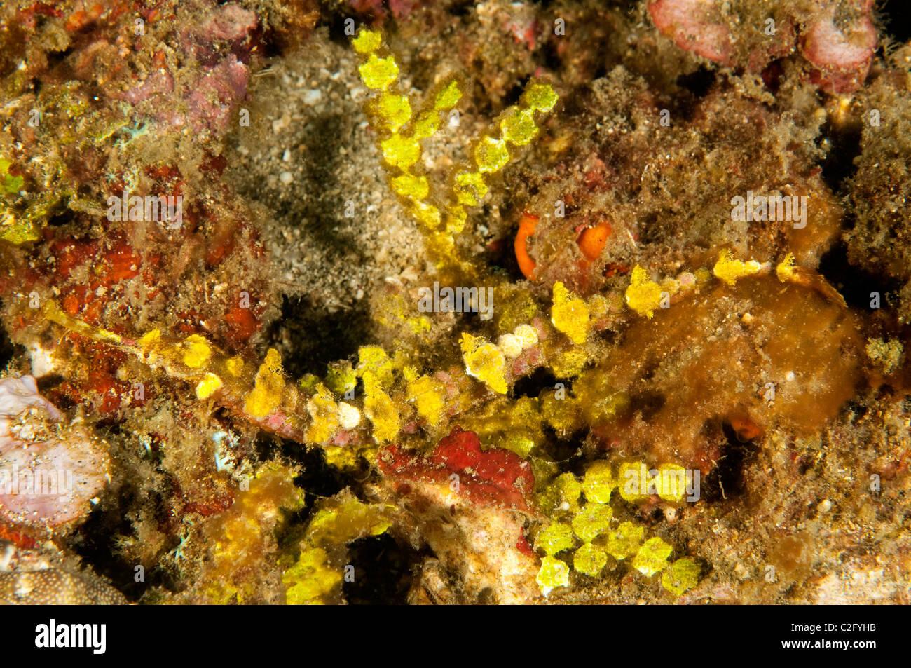 Geflügelte Seenadeln, Halicampus Macrorhynchus imitieren Halimeda Algen Sulawesi Indonesien Stockbild