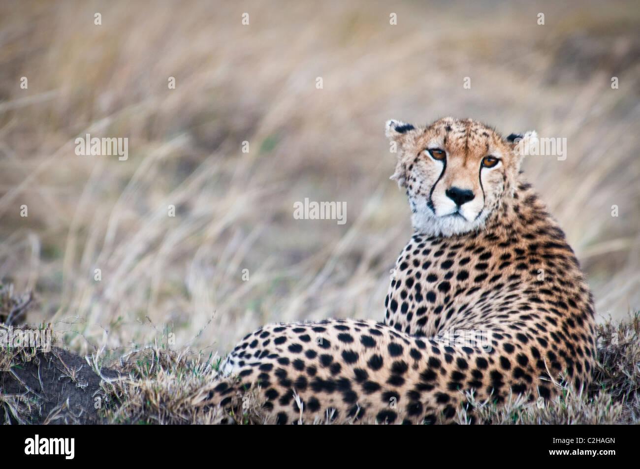 Gepard, Acinonyx Jubatus, Suche nach Beute, Masai Mara National Reserve, Kenia, Afrika Stockbild
