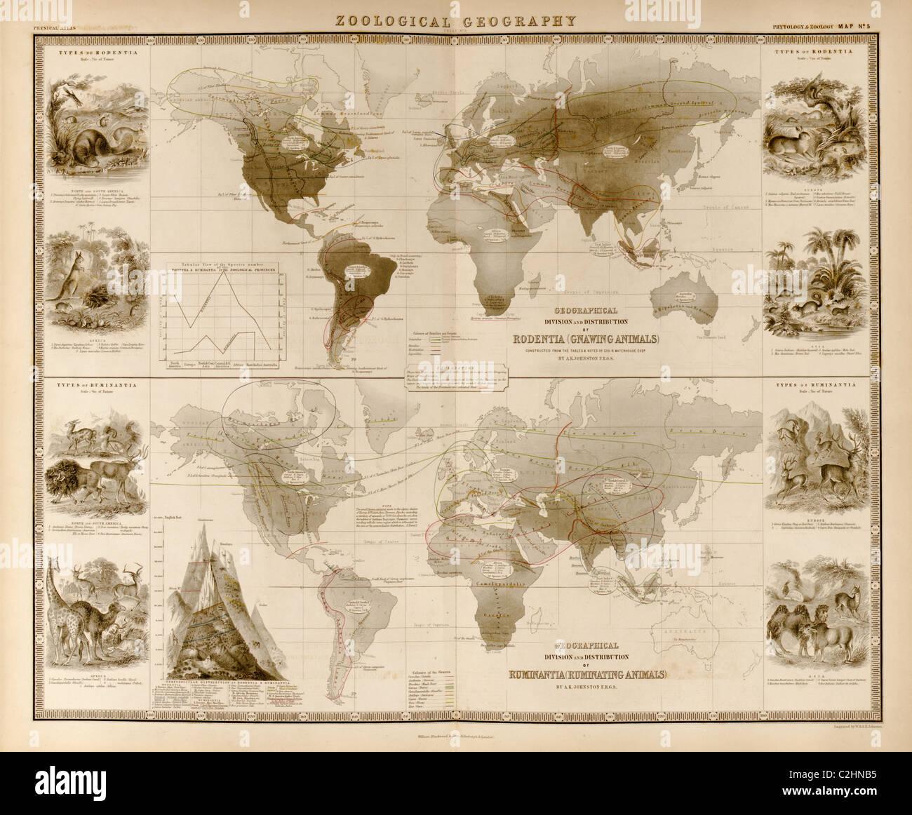 Zoologische Geographie; Wiederkäuer Stockbild