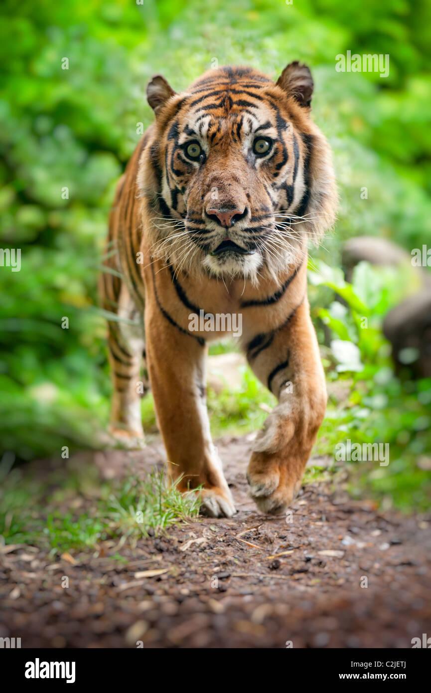 Nahaufnahme von einem Sumatra-Tiger im Wald Stockbild