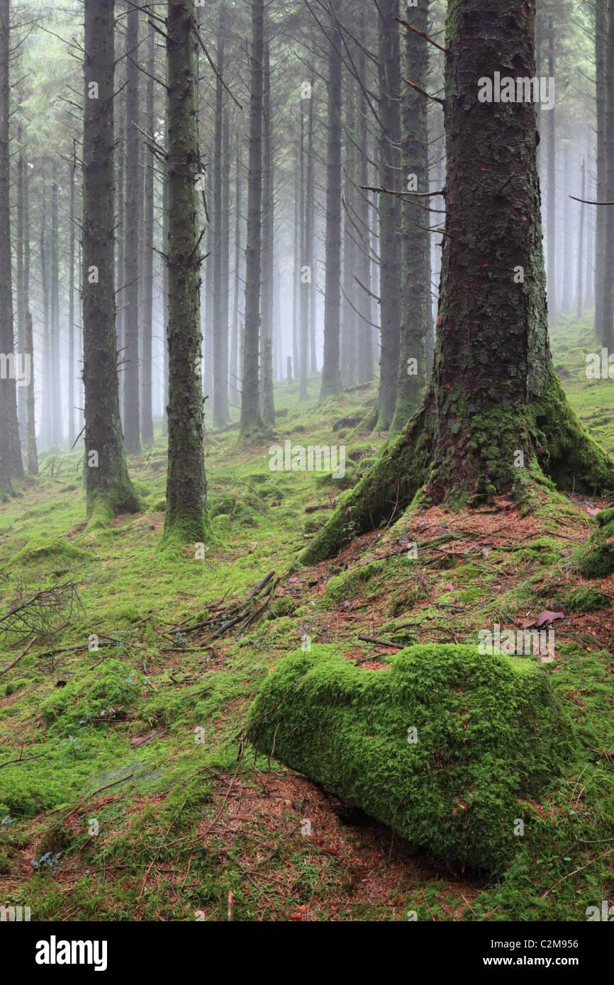 Wald in Bodmin Moor gefangen an einem atmosphärischen Winter Morgen Stockbild