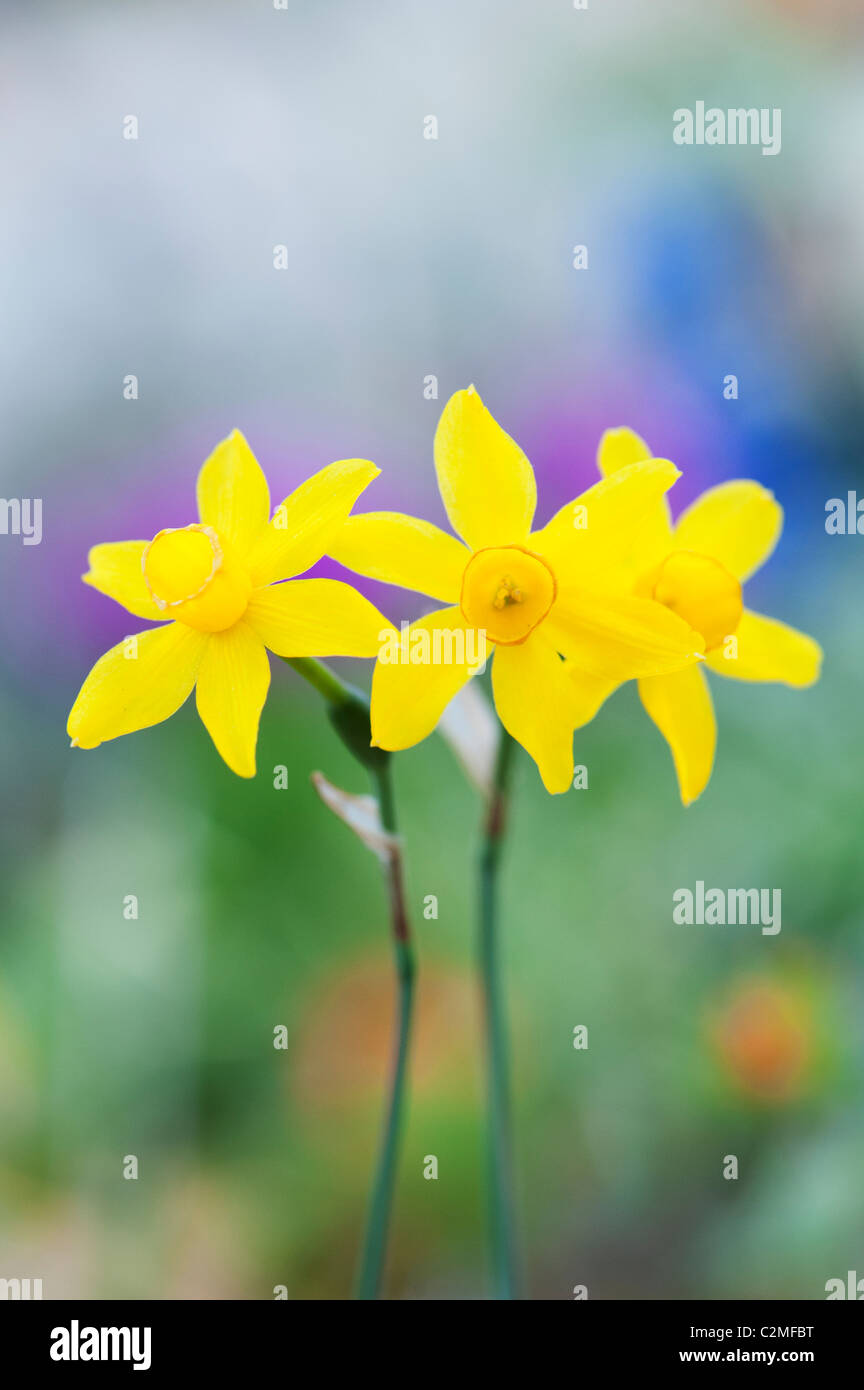 Narcissus Assoanus. Miniatur-Narzissen Blumen. Abstrakt Stockbild