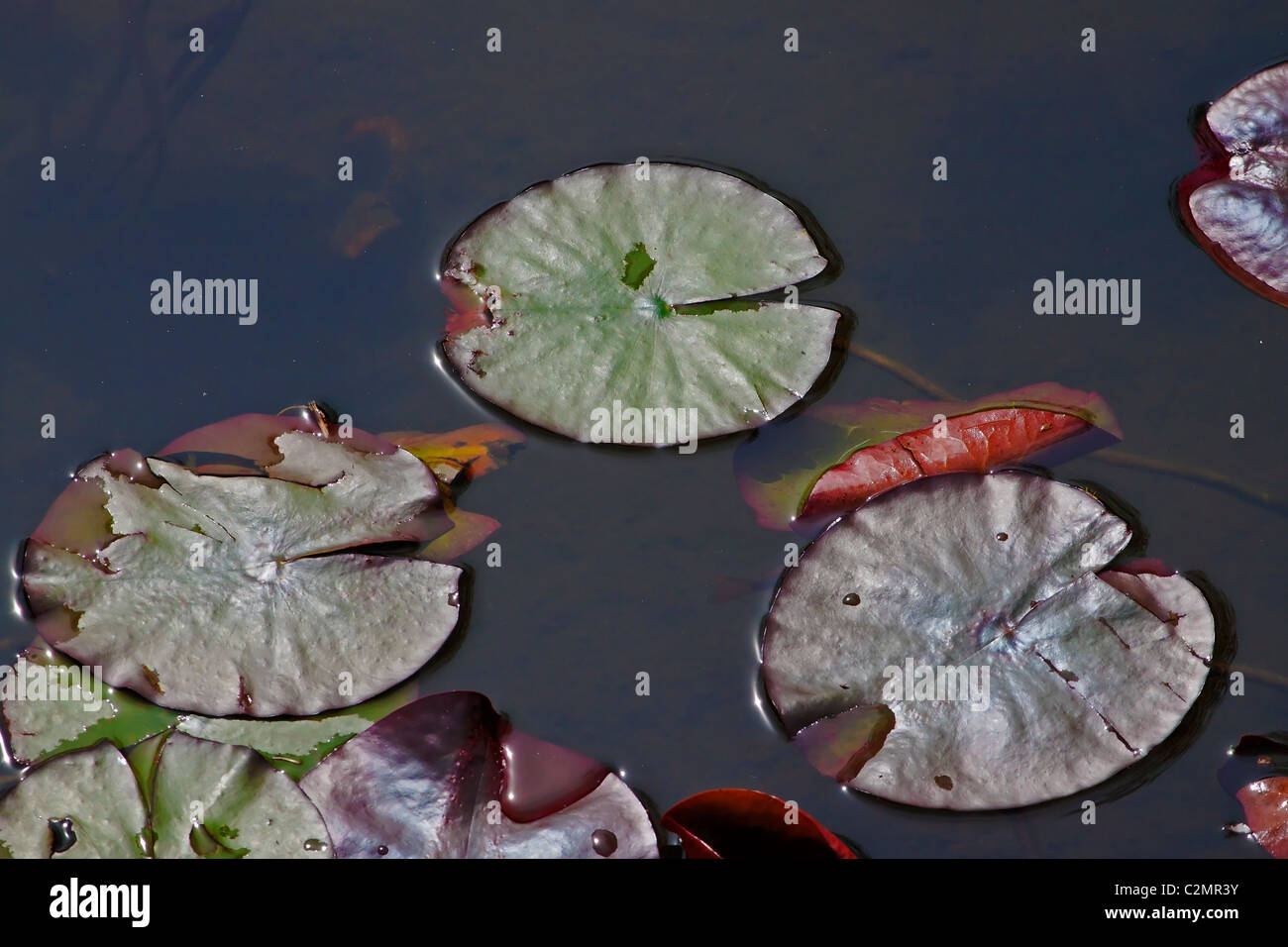 Wasser-lilly Stockbild