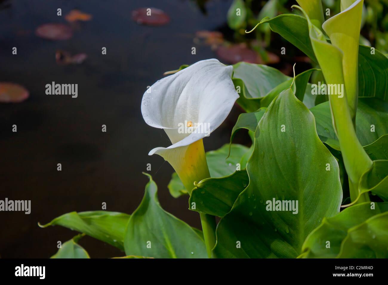 weiße Calla Stockbild