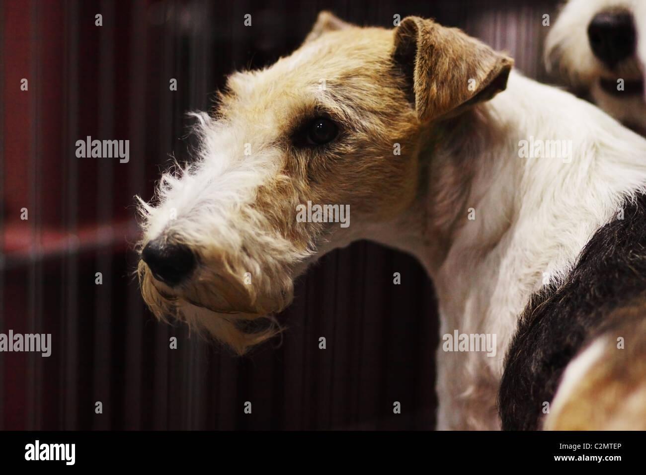 Fox Terrier Stockfotos & Fox Terrier Bilder - Seite 2 - Alamy