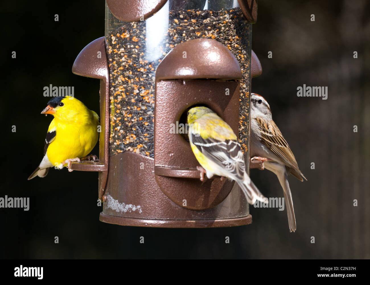 Gartenvögel einschließlich eine helle gelbe amerikanische Stieglitz Essen aus einem modernen Vogelhäuschen, Stockbild