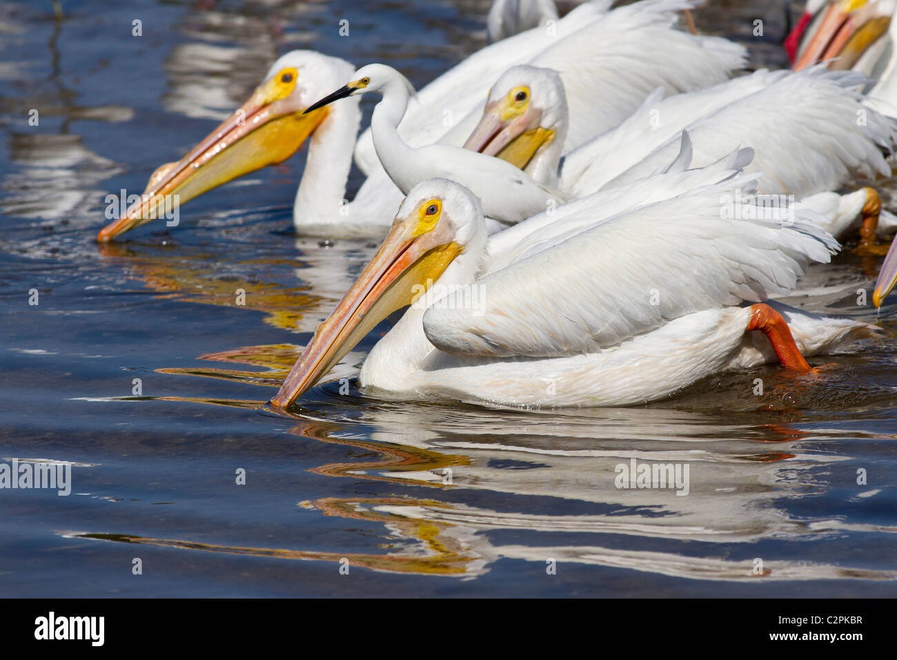 Amerikanischer weißer Pelikan, Pelicanus Erythrorhynchos, Ding Darling Wildlife Refuge, Sanibel, Florida, USA Stockbild