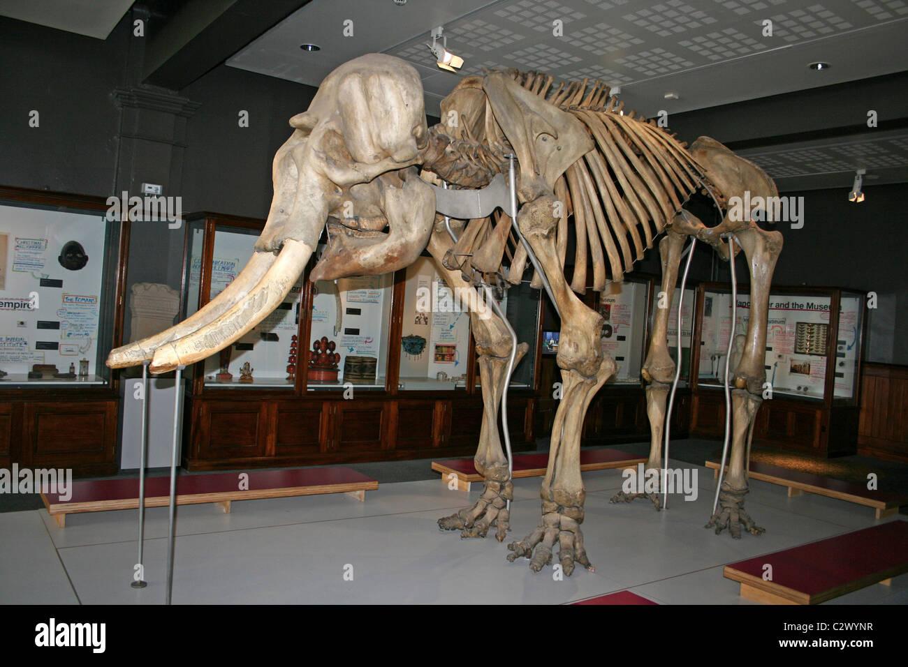 Skelett eines männlichen asiatischen Elefanten namens Maharadscha ...