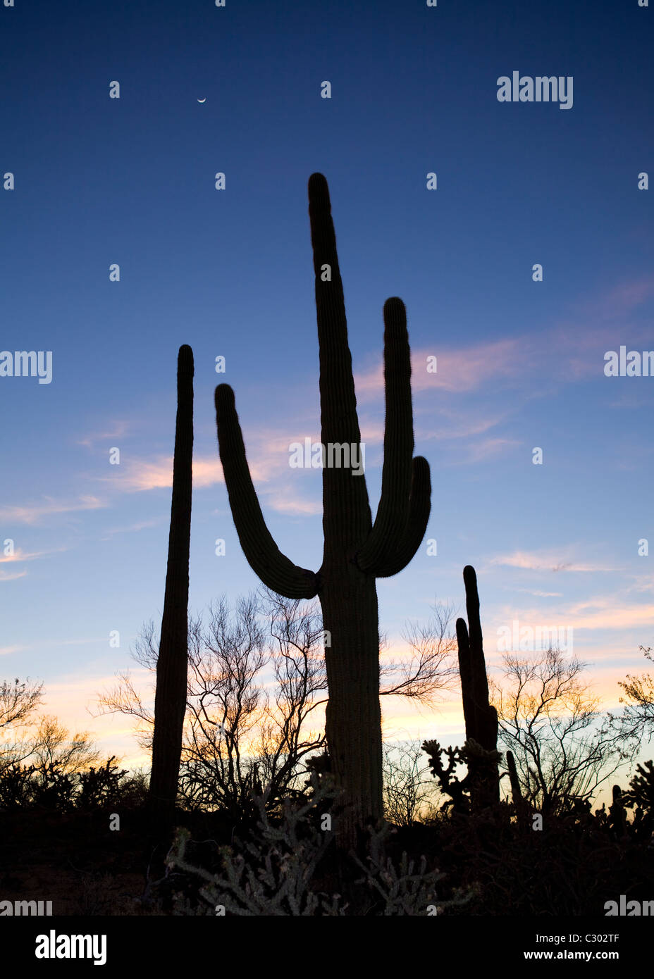 Saguaro-Kaktus-Feld - Saguaro National Park, Arizona USA Stockfoto