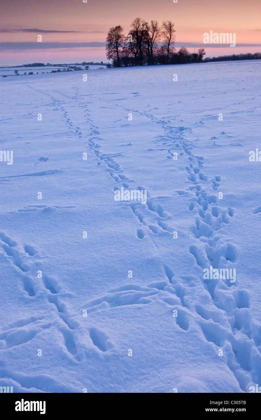 Tierspuren über das Feld in traditionellen Schnee-Szene in The Cotswolds, Swinbrook, Oxfordshire, Vereinigtes Stockbild