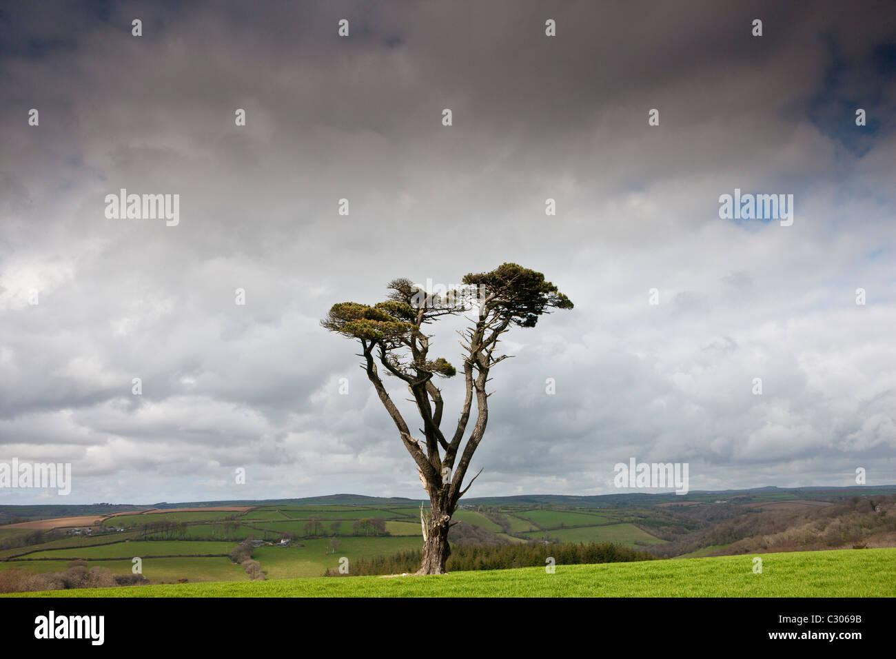 Einsame Kiefer auf Bodmin Moor, Cornwall, England, UK Stockbild