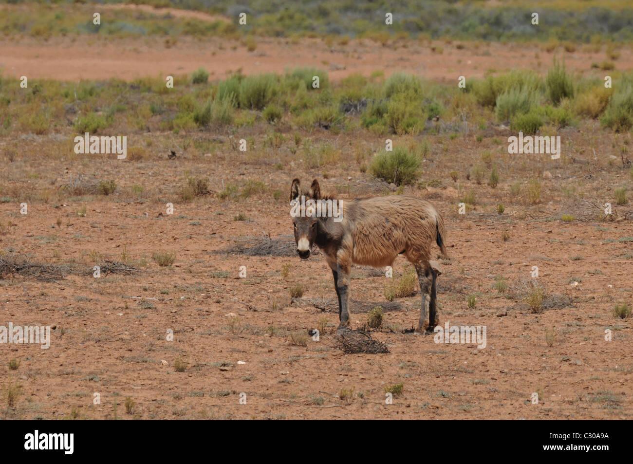 Arabisches Foto des großen Esels