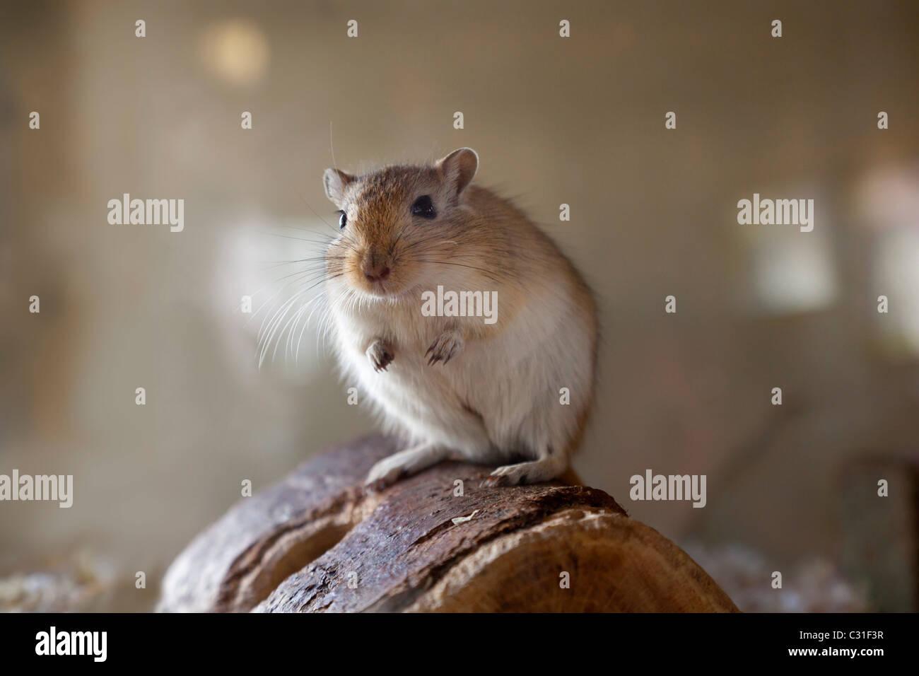 Rennmaus sitzt auf Holz Stockbild