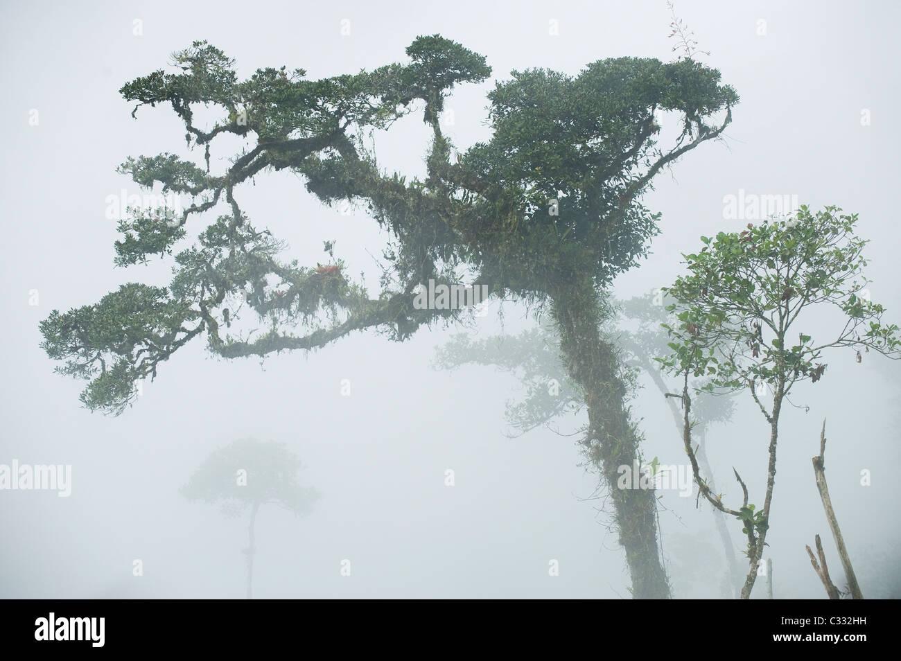 Nebel im bergigen Regenwald, Yungas, östlichen Anden, Peru: Heimat von peruanischen Yellow-tailed Woolly Monkey Stockbild
