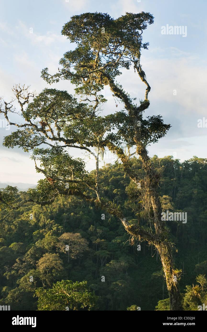 Epiphyt beladenen Baum, Montane Rainforest, ca. 2000 m. östlichen Anden, Amazonas, Peru: Lebensraum für Stockbild