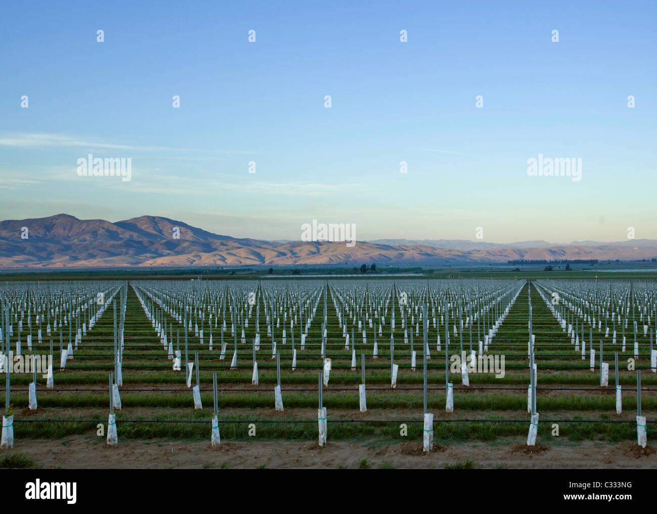 Neu gepflanzte groß angelegte Obstgarten in Zentral-Kalifornien Stockbild