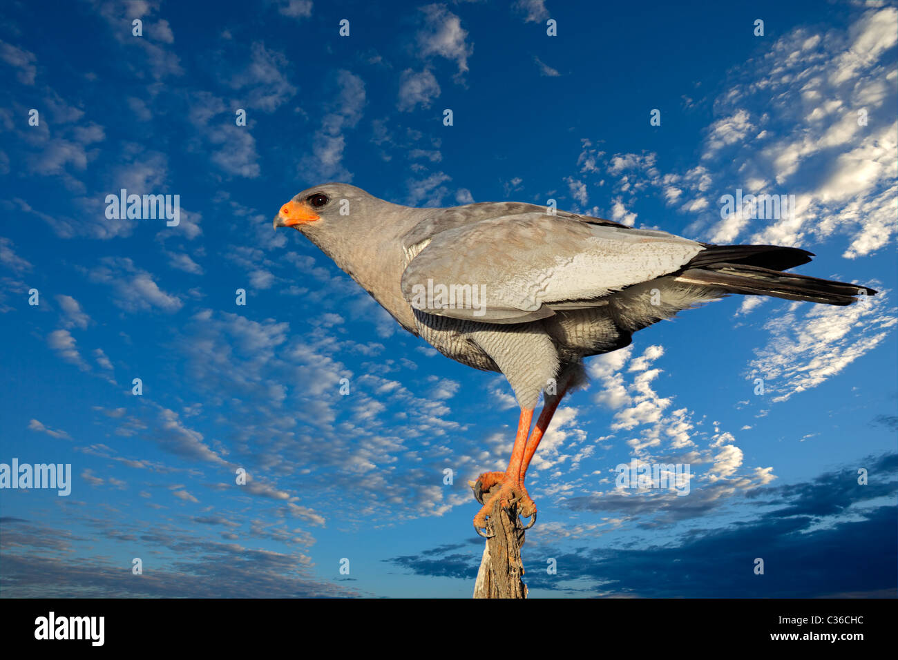 Blasse Gesangs Habicht (Melierax Canorus) vor einem blauen Himmel mit Wolken, Südafrika Stockbild
