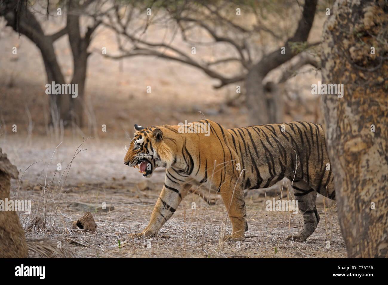 Tiger brüllt in Ranthambhore National Park, Stockbild