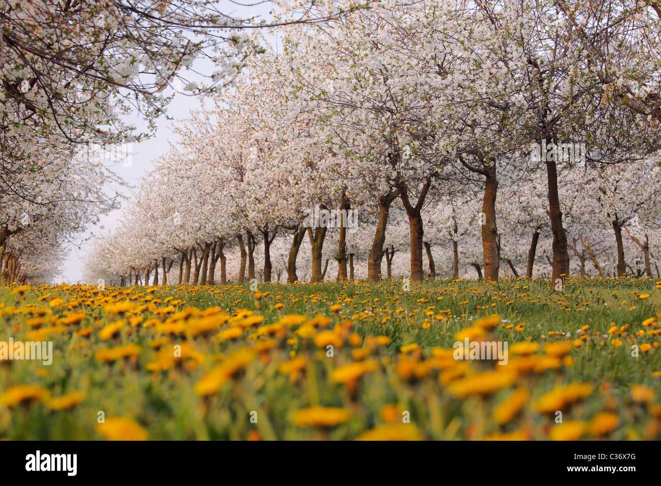 Kirschblüte und Löwenzahn in einer Plantage im Frühjahr Stockbild