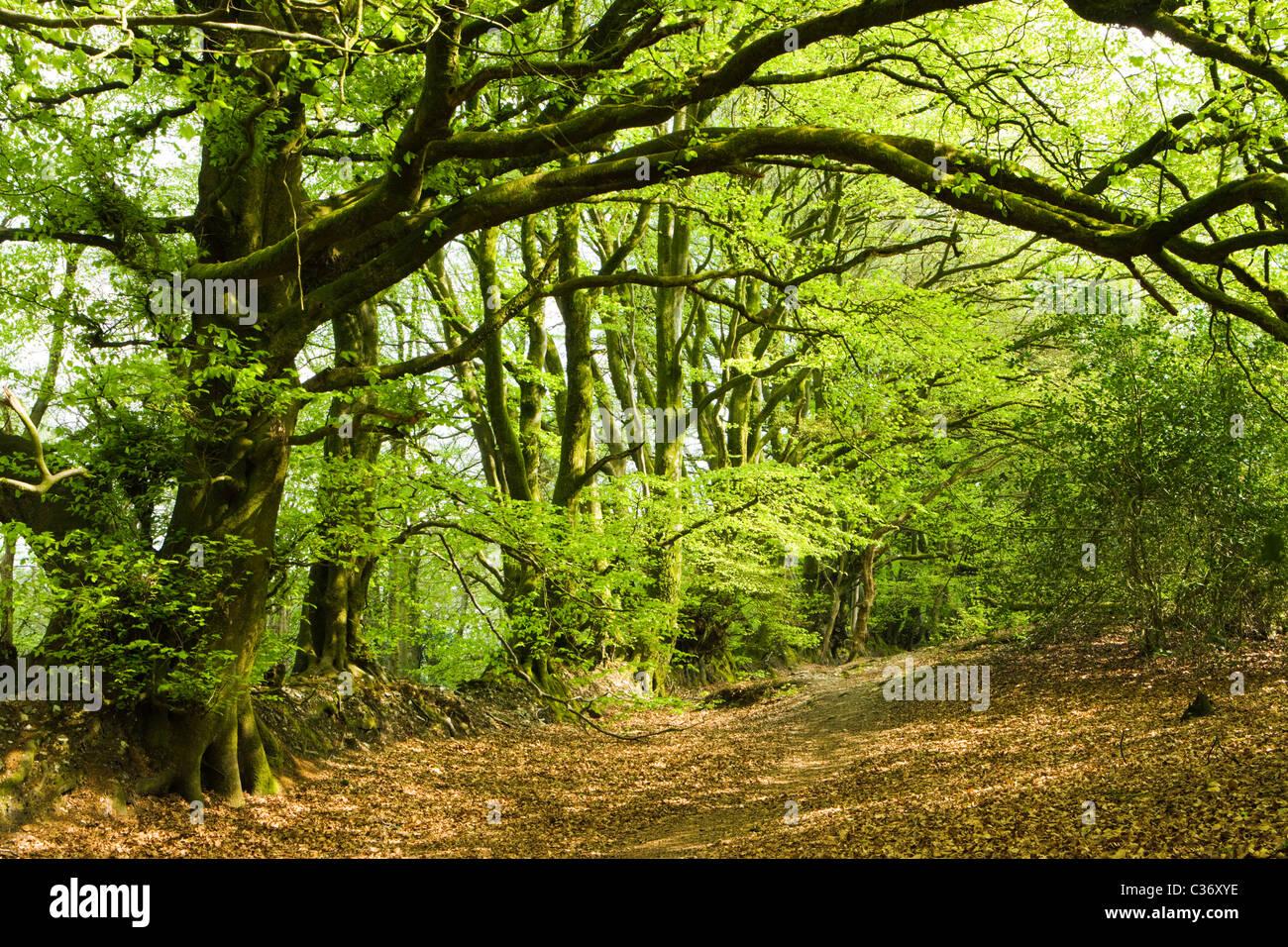 Dommett Holz, Somerset, UK. Buche Bäume. Stockbild