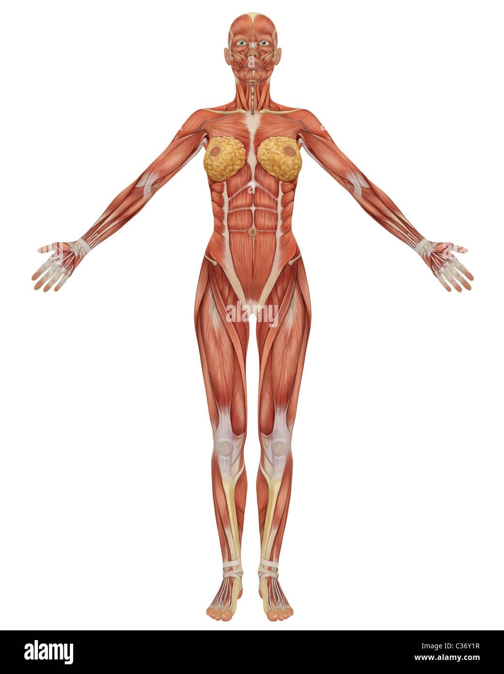Female Anatomy 3d Stockfotos & Female Anatomy 3d Bilder - Alamy