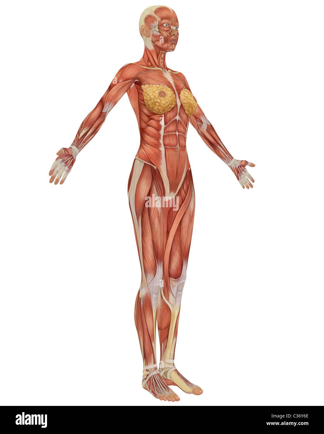 Ungewöhnlich Weibliche Anatomie Des Menschen Fotos Bilder ...