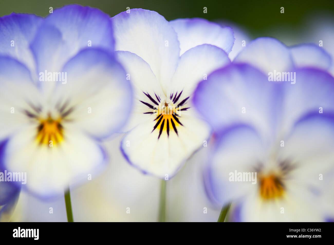 Viola Sorbet 'Kokosnuss Wirbel' Blumen Stockfoto