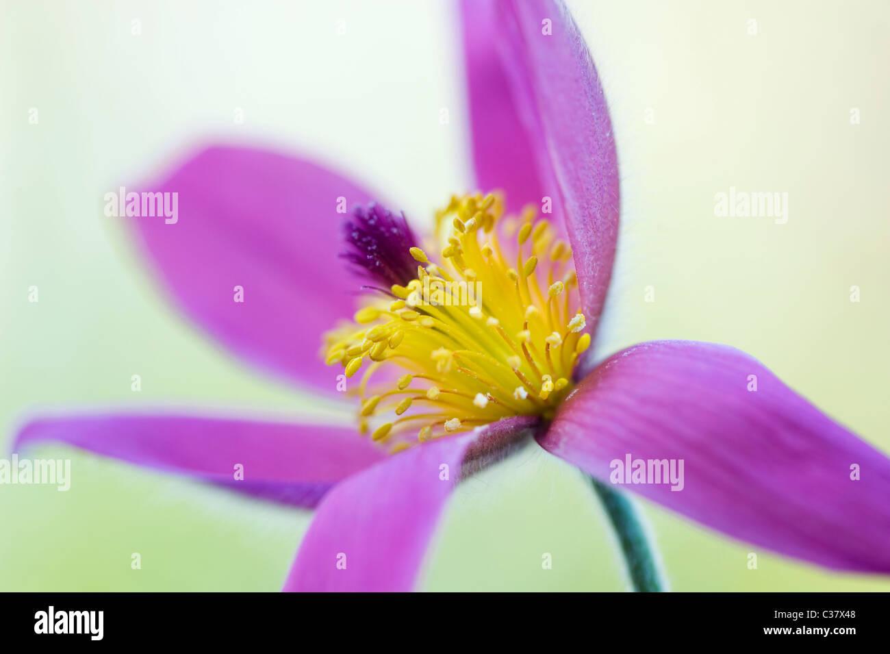 Einem einzigen lila Blume Kopf von Pulsatilla Vulgaris - Kuhschelle, Küchenschelle Stockbild