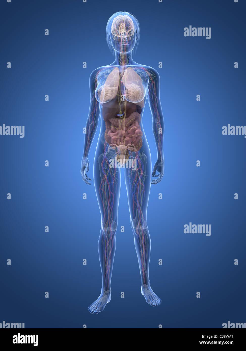 Schön Markierte Weibliche Anatomie Fotos - Menschliche Anatomie ...