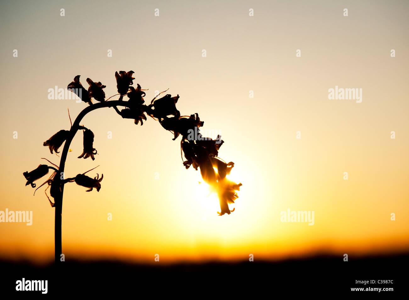 Hyacinthoides non Scripta. Einzelne Bluebell Blume Silhouette bei Sonnenuntergang in der englischen Landschaft Stockbild