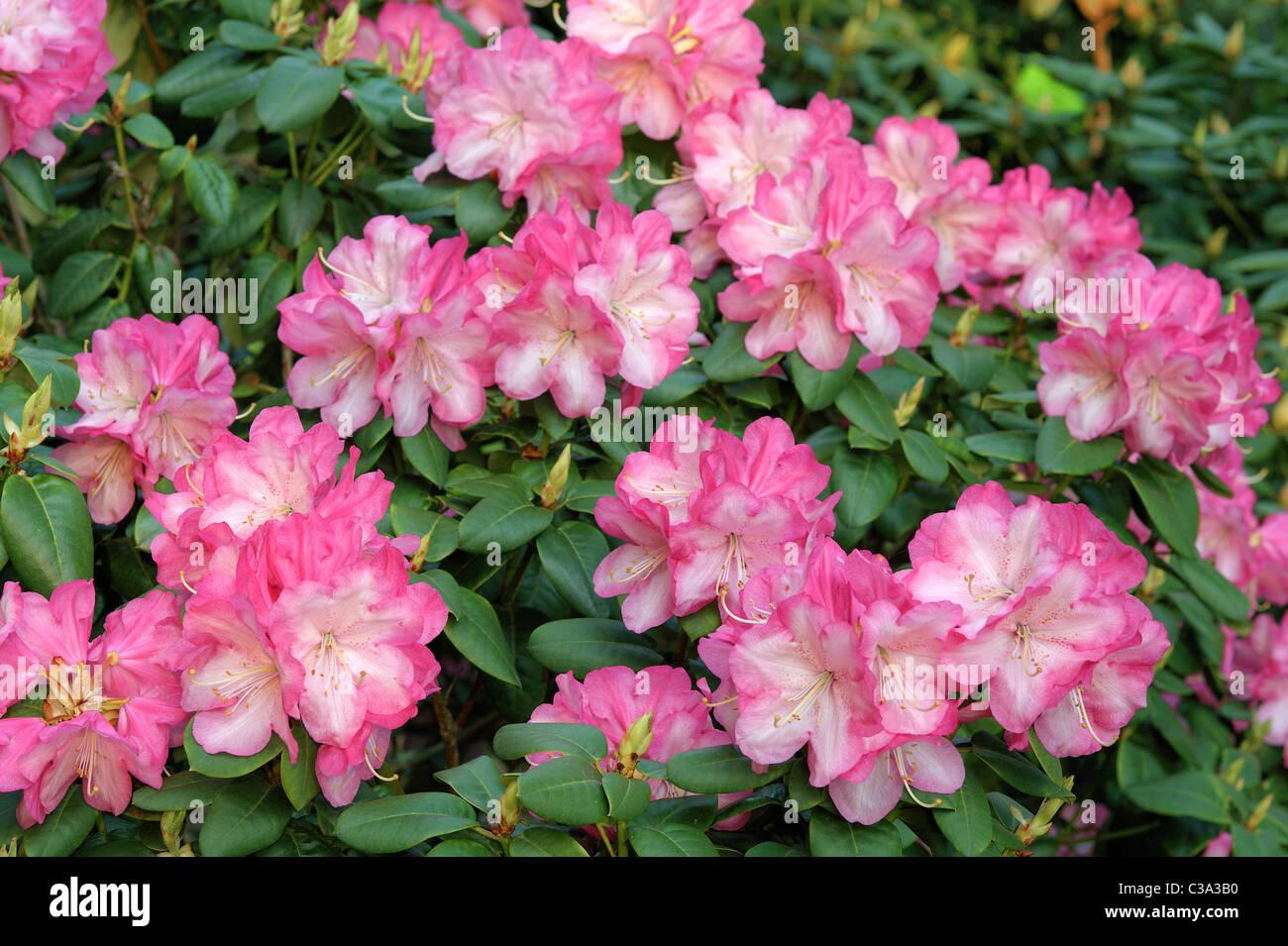 Rosa Rhododendron Blüte der Stadt Essen Stockbild