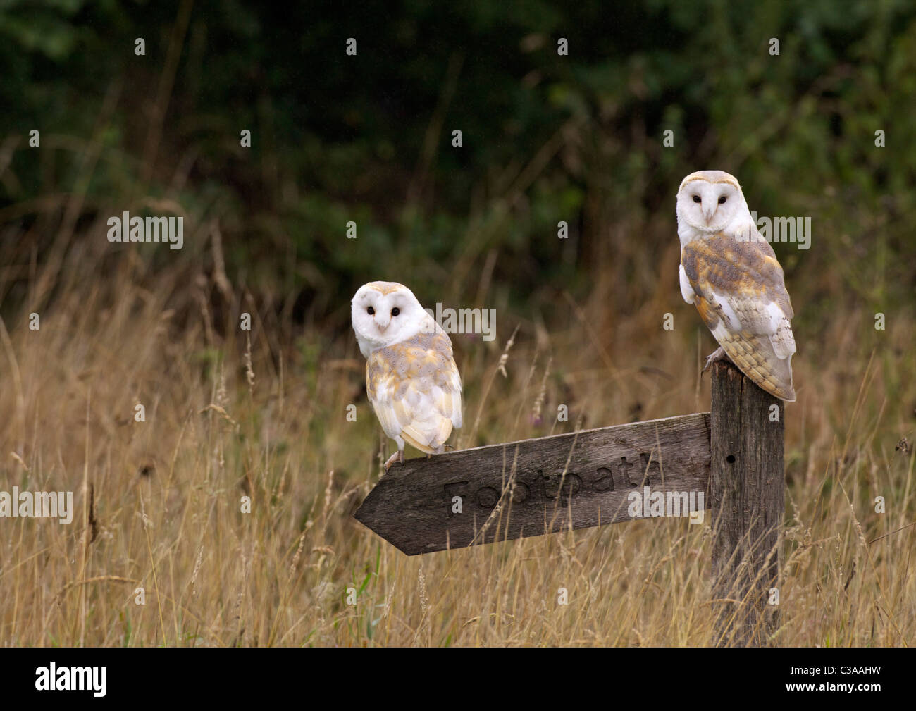 Schleiereule, Tyto Alba, gefangen, auf Fußweg Schild, Barn Owl Zentrum, Gloucestershire, England, UK, Vereinigtes Stockbild