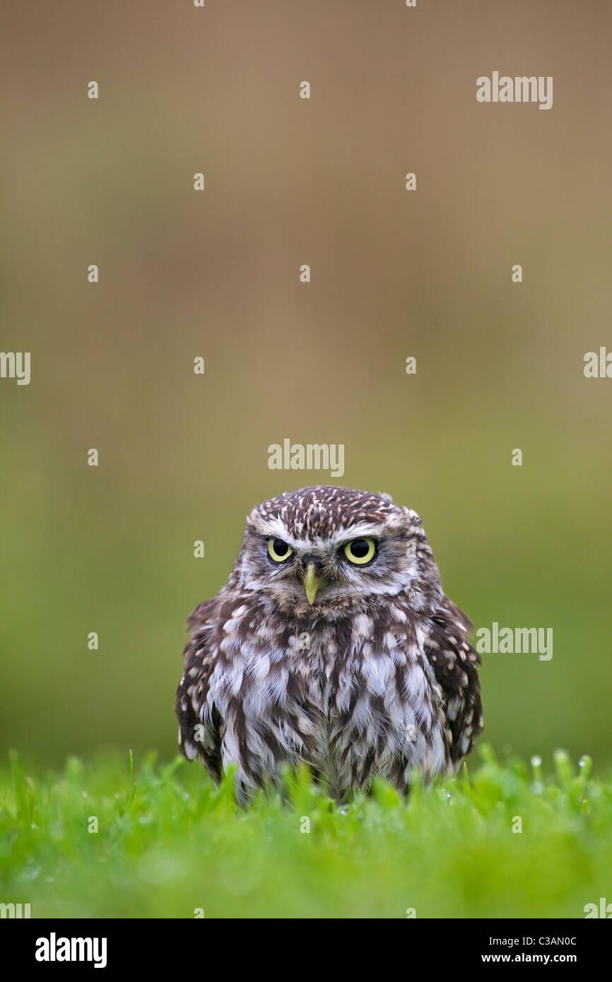 Steinkauz, Athene Noctua, in Gefangenschaft, Barn Owl Zentrum, Gloucestershire, England, UK, Deutschland, GB, Großbritannien, Stockbild