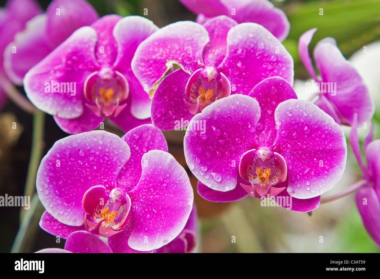 LILA PHALAENOPSIS-Orchideen blühen im Gewächshaus bei den Botanischen Garten UBUD - BALI, Indonesien Stockbild