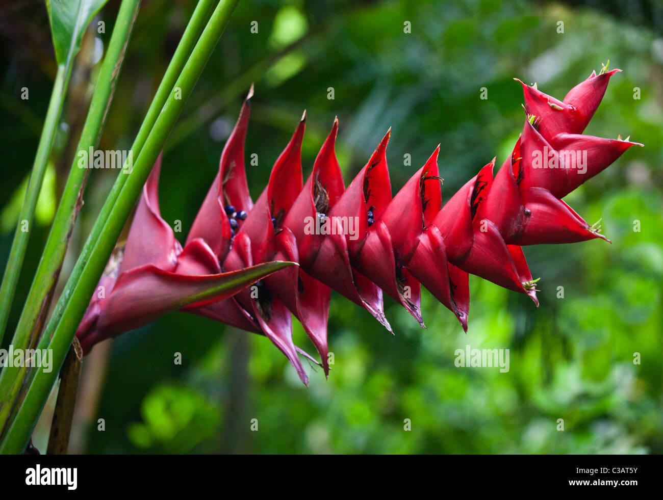 exotische tropische pflanzen bl hen im botanischen garten ubud bali indonesien stockfoto. Black Bedroom Furniture Sets. Home Design Ideas