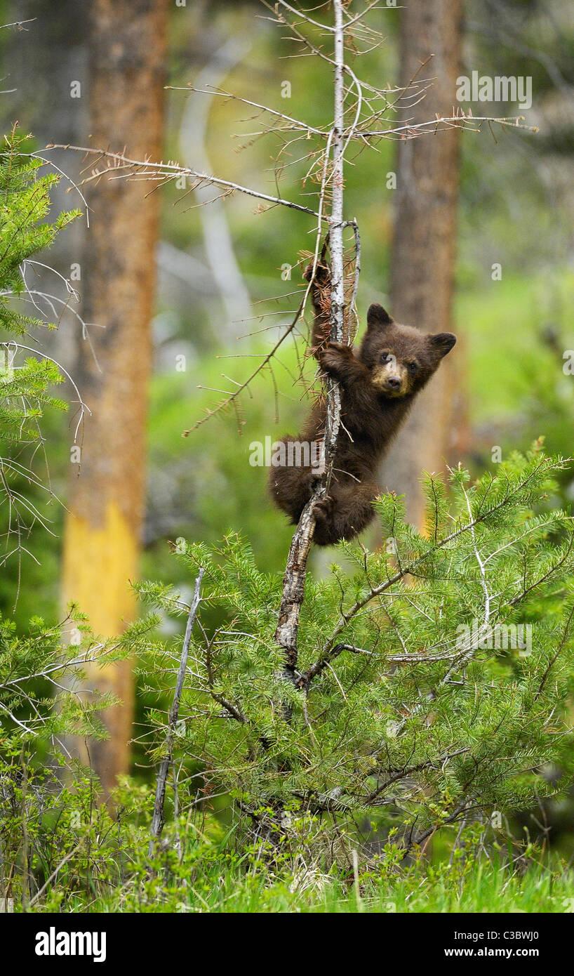 Baby Bear Pole Dance Stockbild